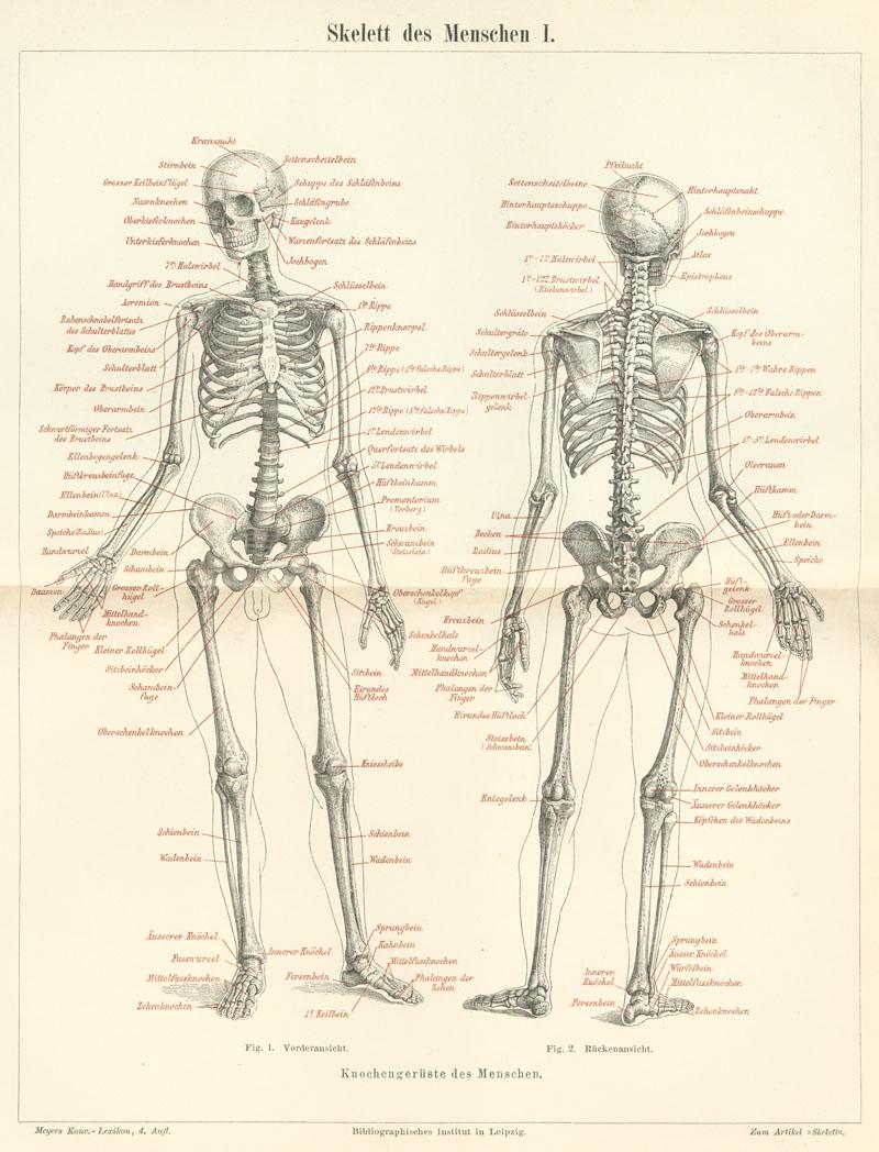 retro|bib - Seite aus Meyers Konversationslexikon: Skelett des ...