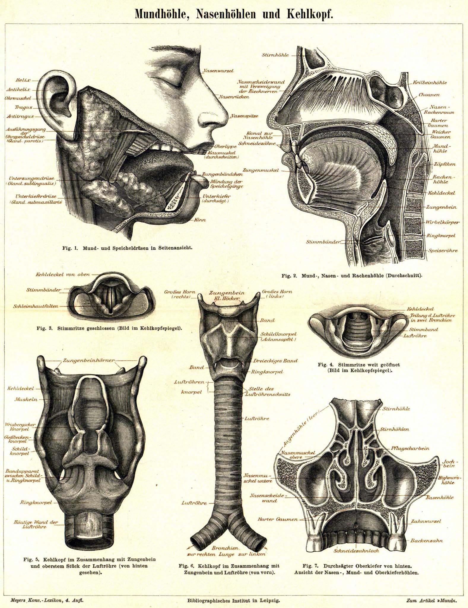 retro|bib - Seite aus Meyers Konversationslexikon: Mundhöhle ...