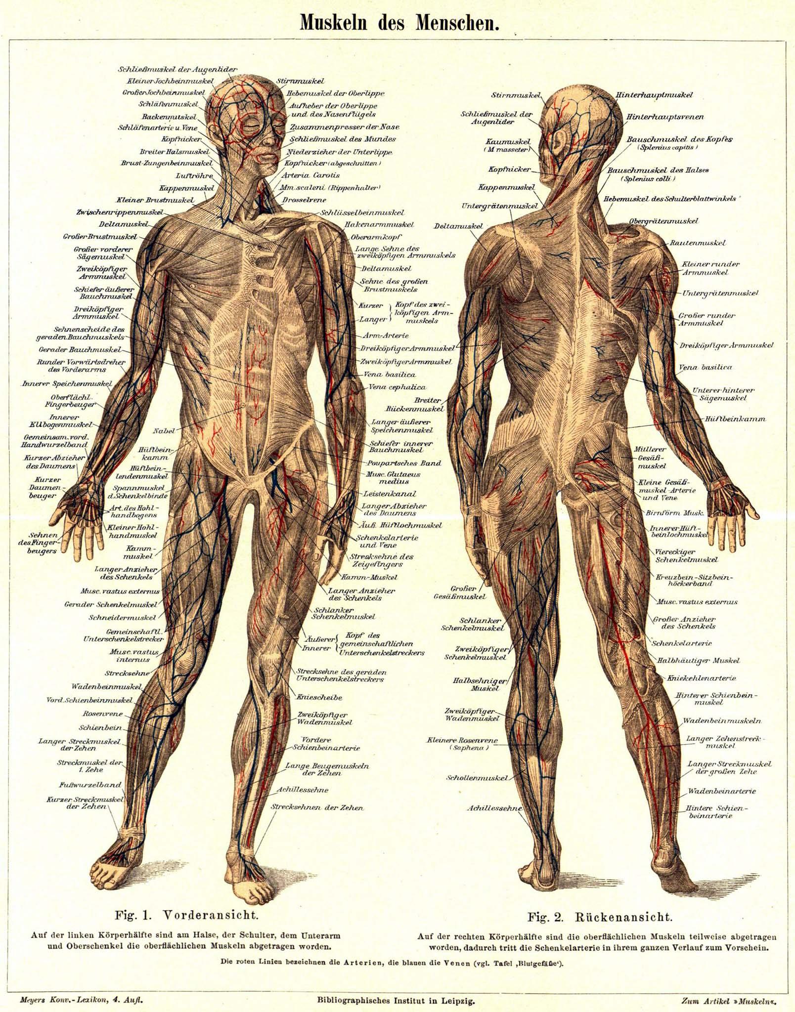 Fein Muskel Im Unterarm Fotos - Anatomie Von Menschlichen ...