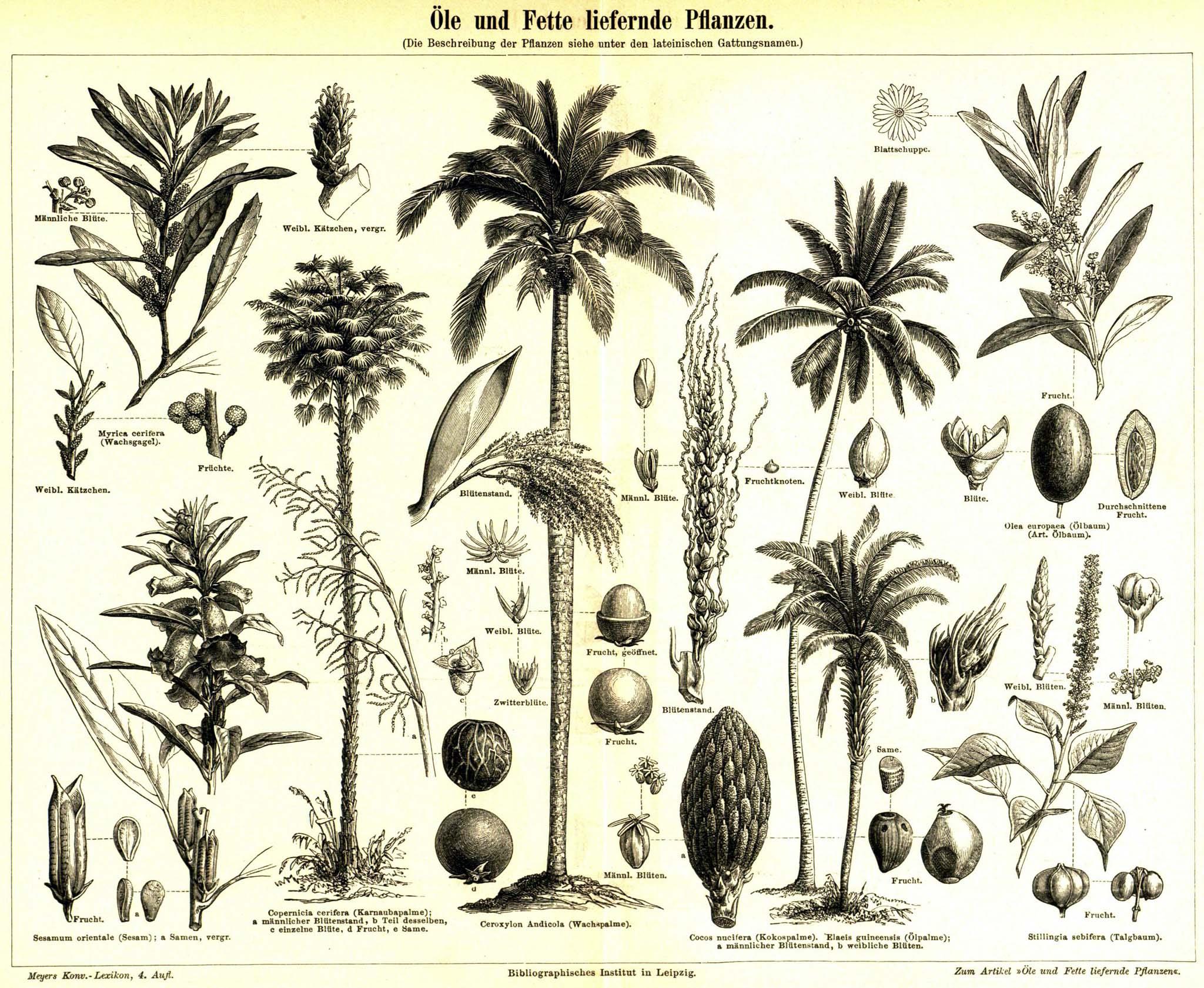 Öle und fette liefernde pflanzen