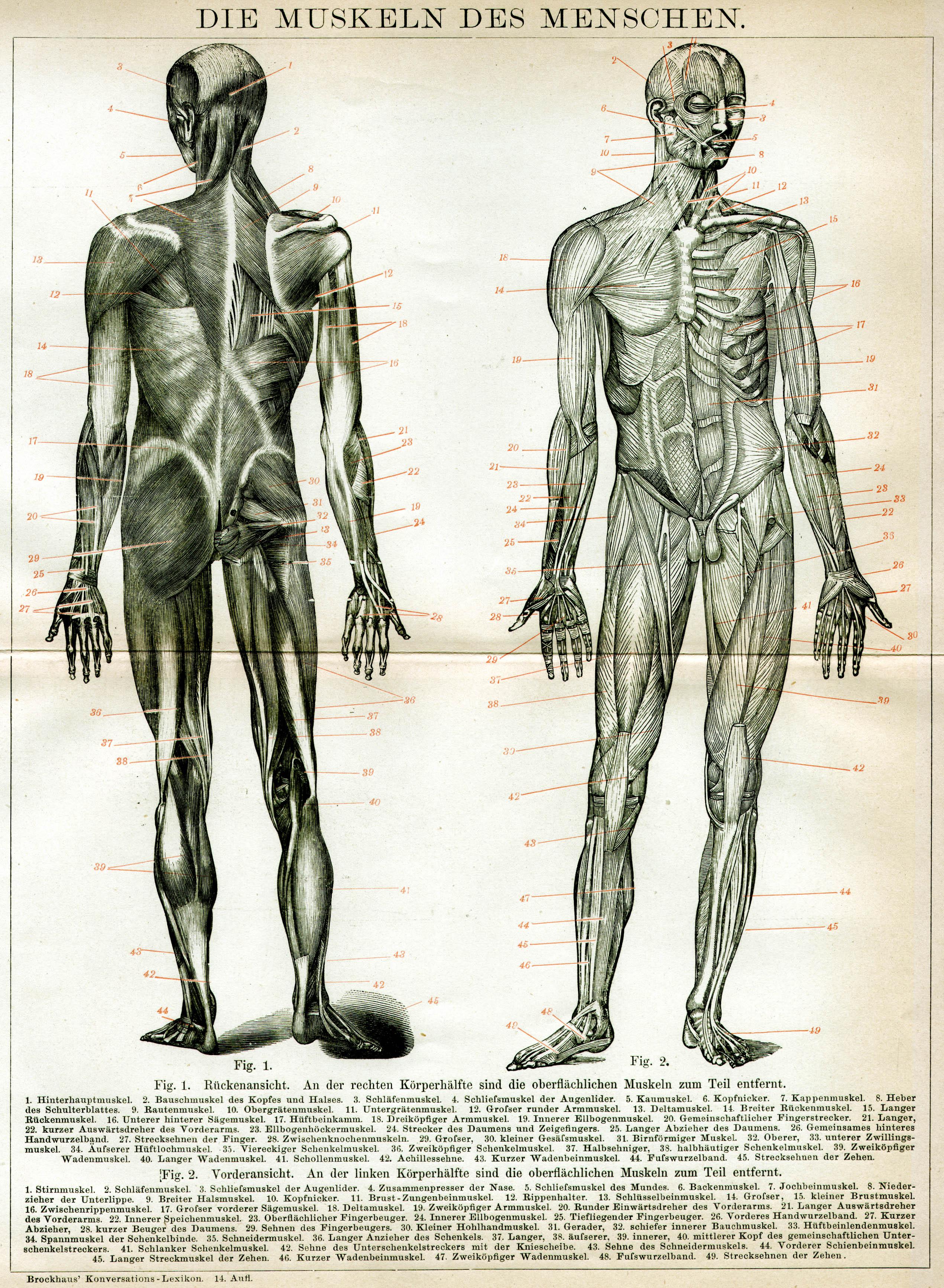 Charmant Diagramm Des Menschlichen Körpers Muskeln Zeitgenössisch ...